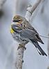 Yellow-RumpedWarbler-LAWD-ApopkaFL-1-20-18-SJS-003