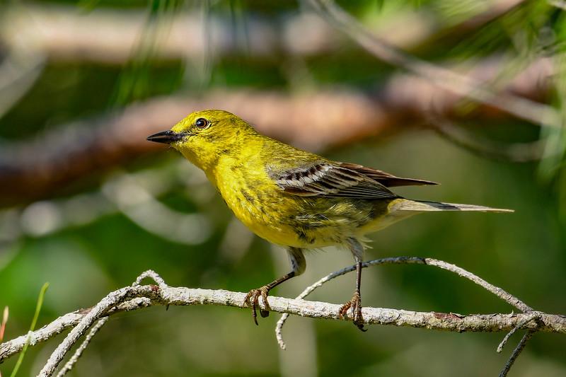 PineWarbler-OcalaNF-4-26-20-SJS-006