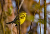 PrairieWarbler-EmeraldaMarsh-10-30-19-SJS-001