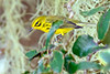 PrairieWarbler-LYE-9-21-20-sjs-06