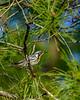 YellowThroatedWarbler-OcalaNationalForest-11-7-19-SJS-002