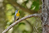 NorthernParula-LYE-3-7-19-SJS-008