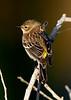 YellowRumpedWarbler-LAWD-FL-2-10-17-SJS-02
