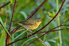 CommonYellowThroat-EmeraldaMarsh-10-30-19-SJS-001