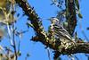 Black&WhiteWarbler-SilverSpringsSP-12-11-20-sjs-007