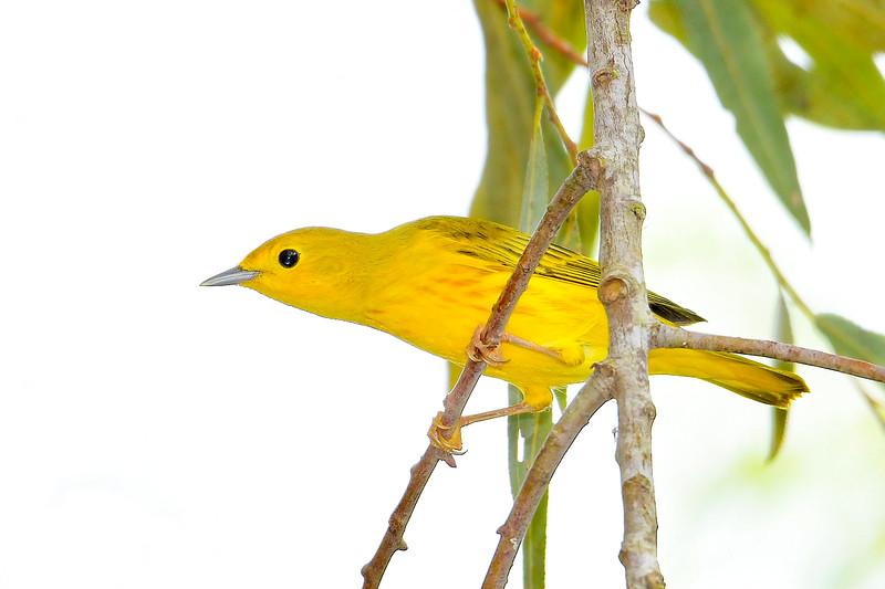 YellowWarbler-LAWD-8-17-19-SJS-008