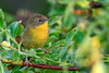 CommonYellowThroat-EmeraldaMarsh-10-10-19-SJS-002