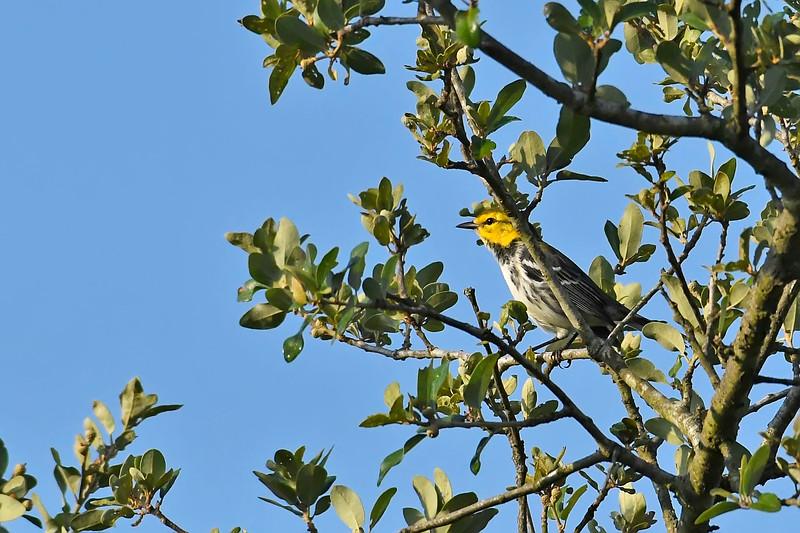 Golden-CheekedWarbler-BalconesNWR-MarbleFallsTX7-6-18-SJS-007