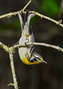 YellowThroatedWarbler-OcalaNF-8-3-20-sjs-001