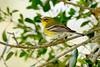 PineWarbler-LakeYaleEstates-2-27-17-SJS-001