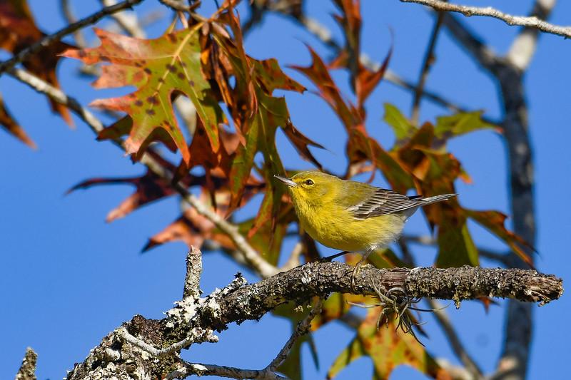 PineWarbler-OcalaNF-12-3-19-SJS-003