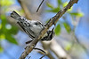 Black&WhiteWarbler-MageeMarsh-5-7-18-SJS-002