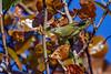 TennesseeWarbler-FortDeSoto-4-22-19-SJS-005