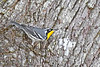 Yellow-ThroatedWarbler-LYE-FL-10-17-18-SJS-009