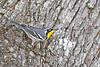 Yellow-ThroatedWarbler-LYE-FL-10-17-18-SJS-009