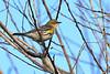 YellowRumpedWarbler-EmeraldaMarsh-11-1-19-SJS-001
