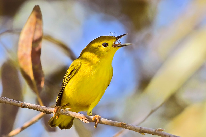 YellowWarbler-LAWD-9-7-18-SJS-002