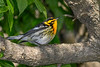 BlackburianWarbler-MageeMarsh-5-13-19-SJS-003