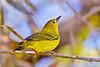 YellowWarbler-LAWD-9-7-18-SJS-001