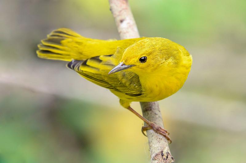 YellowWarbler-LAWD-9-21-19-SJS-009