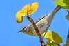 TennesseeWarbler-FortDeSoto-4-20-19-SJS-007