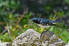 BlackThroatedBlueWarbler-FortDeSoto-4-22-19-SJS-002