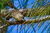 PineWarbler-LakeYale-11-24-19-SJS-002