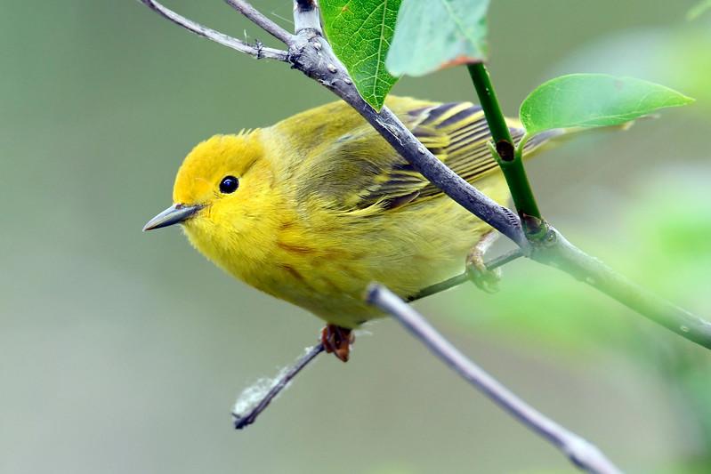 YellowWarbler-MM-5-19-17-SJS-002