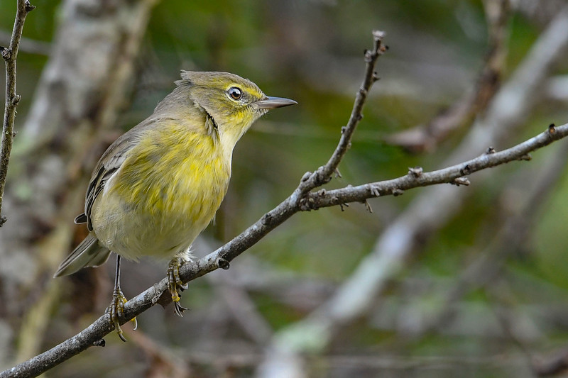 PineWarbler-EmeraldaMarsh 10-22-19-SJS-009