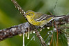PineWarbler-PineMeadows-11-15-19-SJS-002