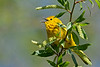 YellowWarbler-MageeMarsh-5-7-18-SJS-003