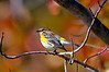 YellowRumpedWarblerHamptonVA-2014-sjs-005