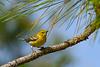 PineWarbler-OcalaNF-1-16-19-SJS-003