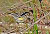 YellowRumpWarbler-LAWD-2-10-17-SJS-005