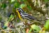 YellowThroatedWarbler-OcalaNF-8-3-20-sjs-003
