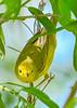 YellowWarbler-LAWD-3-1-19-SJS-004