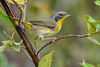 CommonYellowThroat-EmeraldaMarsh 10-25-19-SJS-001