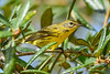 PrairieWarbler-OcalaNF-7-28-20-sjs-007