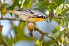 YellowThroatedWarbler-OcalaNF-9-9-20-sjs-003