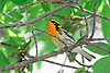 BlackburnianWarbler-MM-5-16-17-SJS-002