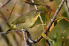 CommonYellowThroat-LAWD-11-16-18-SJS-008