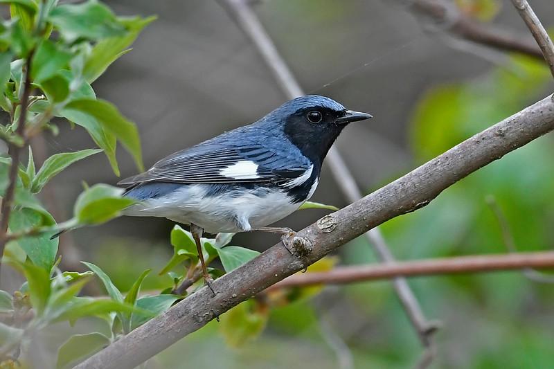 Black-ThroatedBlueWarbler-MageeMarsh-5-9-18-SJS-001