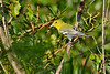 Yellow-ThroatedVireo-OcalaNF-9-24-19-SJS-001