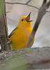 ProthonotaryWarbler-MageeMarsh-5-6-18-SJS-004