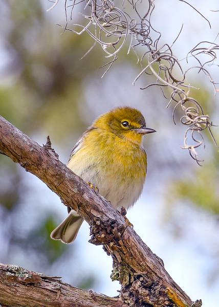 PineWarbler-LakeYale-11-24-19-SJS-001