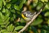 YellowThroatedWarbler-CRLeeParkFL-1-22-20-SJS-002