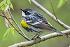 YellowRumpedWarbler-MageeMarsh-5-12-19-SJS-002
