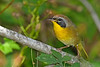 CommonYellow-Throat-LAWD-11-9-18-SJS-002