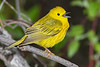 YellowWarbler-MageeMarsh-5-13-19-SJS-008