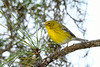 PineWarbler-PineMeadows-11-15-19-SJS-005